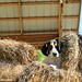 Bert in the hay (1)