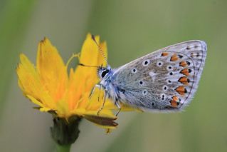 Male Common Blue | by Chris*Bolton