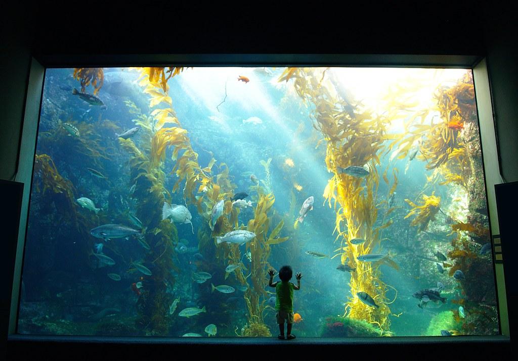 The 70 000 Gallon Kelp Forest Tank At Birch Aquarium Flickr