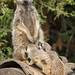 Meerkat milkbar