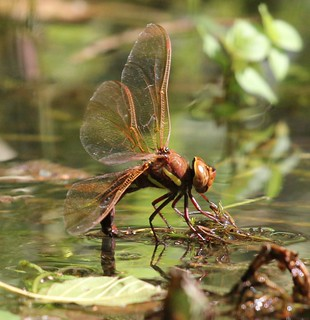 DRAGONFLY LAYING HER EGGS | by jill lamb 53