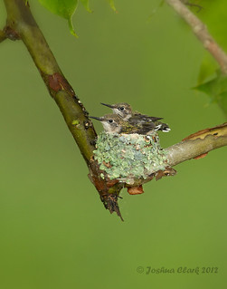Ruby-Throated Hummingbirds nest | by www.momentsinature.com
