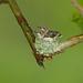 Ruby-Throated Hummingbirds nest