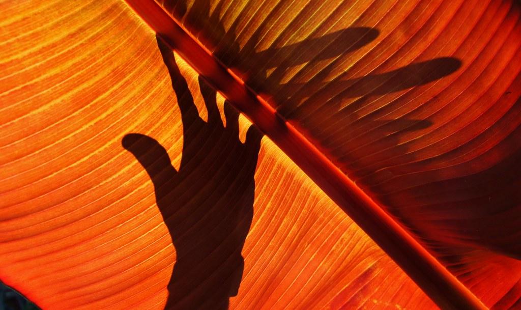 Shadowplay Against A Big Leaf In The Carl S English Jr Flickr