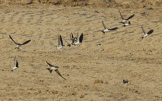 Sand Martins. | by wurzel.pete.3 Million views,Thanks.