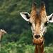 The Giraffe Centre, Nairobi