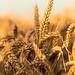 Golden Wheatfield