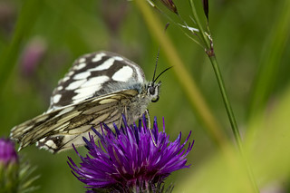 Marbled White | by Chris McLoughlin