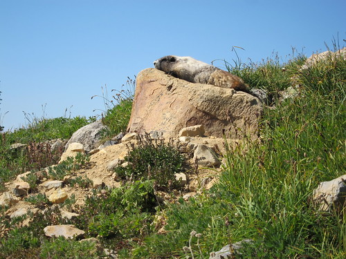 Marmot relaxing in the sunshine. | by aehrlich