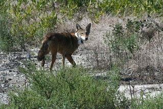 Endangered red wolf | by USFWS/Southeast