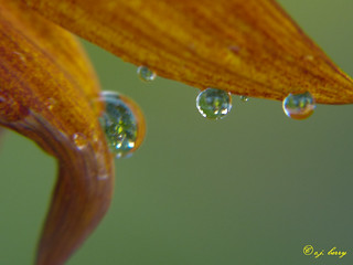 Drops on Petals | by cj berry