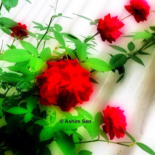 I beg your pardon, I never promised you a Rose garden | Flickr