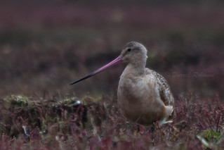 Marbled Godwit | by sierrasylvan