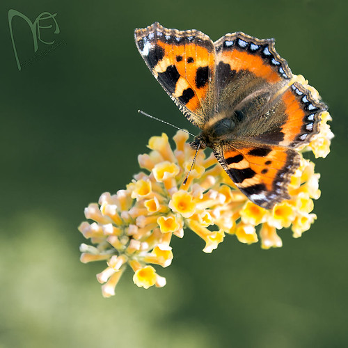 A Small Tortoiseshell - I think. | by Marc.Elliott