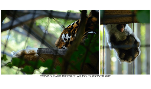 At Rest_Amur Tiger_Brandywine Zoo | by MDunckley