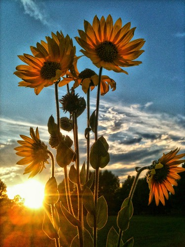 Black-eyed Susans at sunset | by Gary Gardiner - Photographer