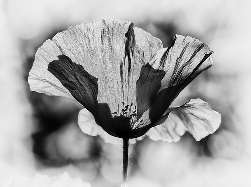 Backlit (M9081516orf) monochrome | by Mel Stephens