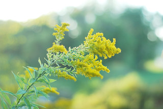 goldenrod | by thisemily
