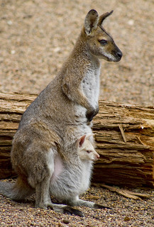 Wallaby & Joey | by aussiegall