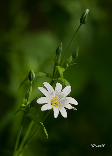 Greater Stitchwort | by Qiuxia18