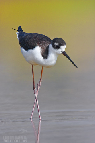 Black-necked Stilt, Himantopus mexicanus, juvenille, Pismo Beach, CA | by Donald Quintana Nature Photography