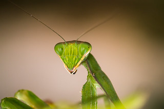 Mantis | by aminefassi