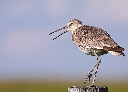 Willet...#6 | by Guy Lichter Photography - 3.4M views Thank you