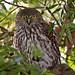 Barking  Owl - 18  September  2007 048