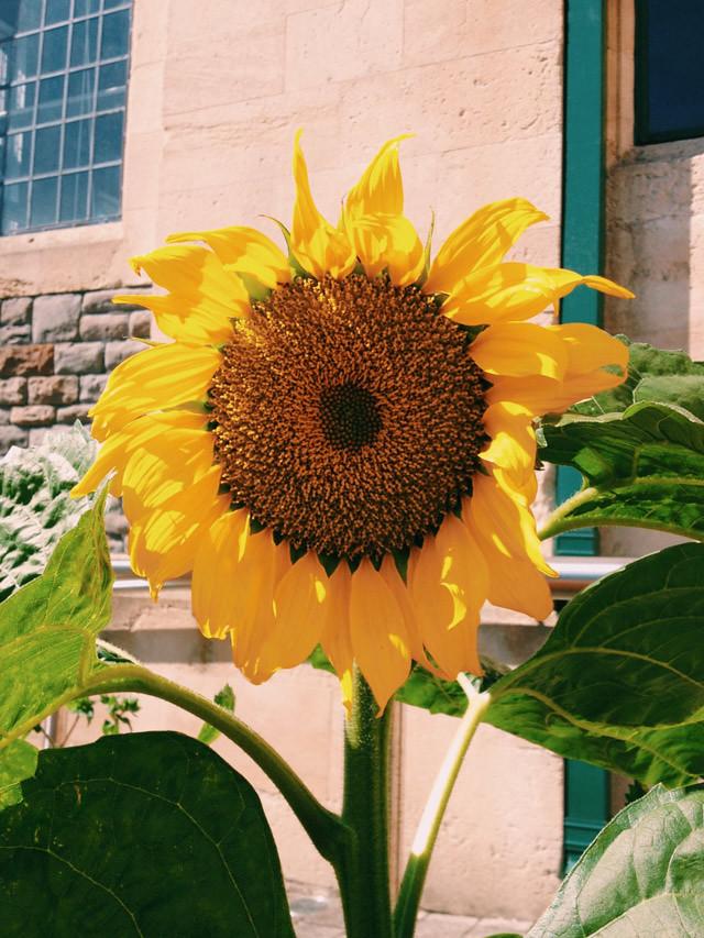 sunflower on sunny day