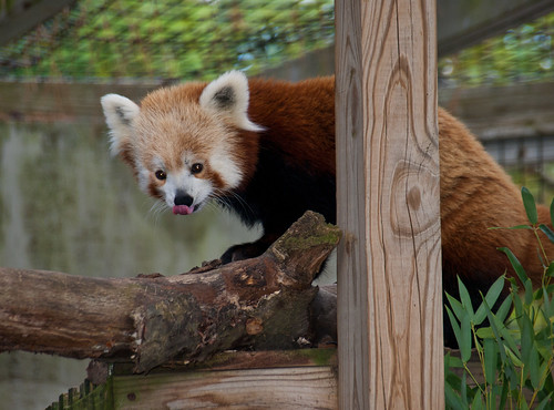 Red panda 05 | by Podsville