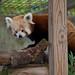Red panda 05