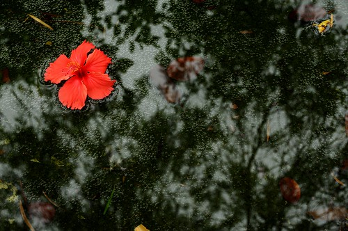 Hibiscus | by MelindaChan ^..^