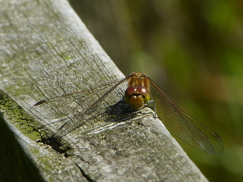 Common Darter Dragonfly | by mrphotographica