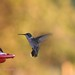 Pair of Hummers