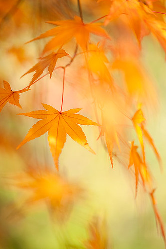 maple leaves | by Brigitte Lorenz