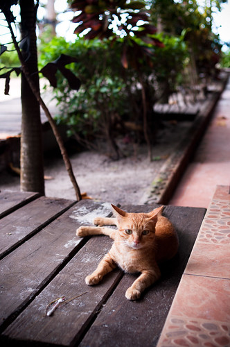Cat in Samed island | by BRIANCHAO