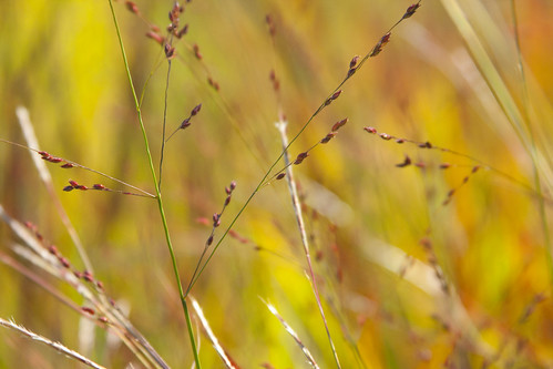 Pink Panicum Panicles | by Scott Weber PDX