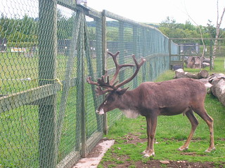 Reindeer at Fife Animal Park. | by tormentor4555