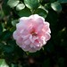 Rosa 'Bonica' Sw 9-22-12 3866 lo-res