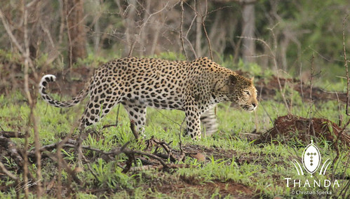 A handsome leopard walking in South Africa's Thanda Private Game Reserve | by Panthera Cats