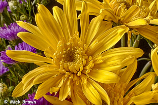 Daisies-n-Asters-4808_HDR | by mick99c
