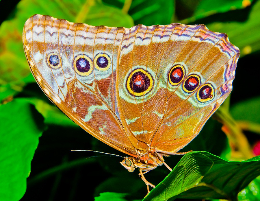 Butterfly Wing Eye Pattern Lepidoptera Nymphalidae I