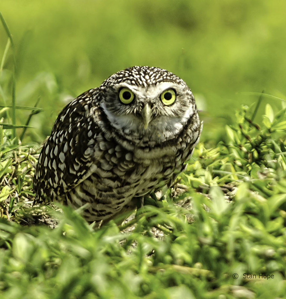 Burrowing Owls Whoo Are You I Had To Go To Cape Coral