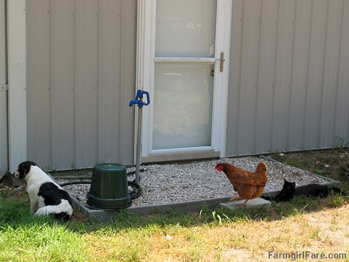 Bert, Tuffy, and Mr. Midnight | by Farmgirl Susan