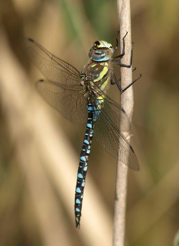 Aeshna mixta, Migrant hawker, Paarde(n)bijter | by Michiel Thomas