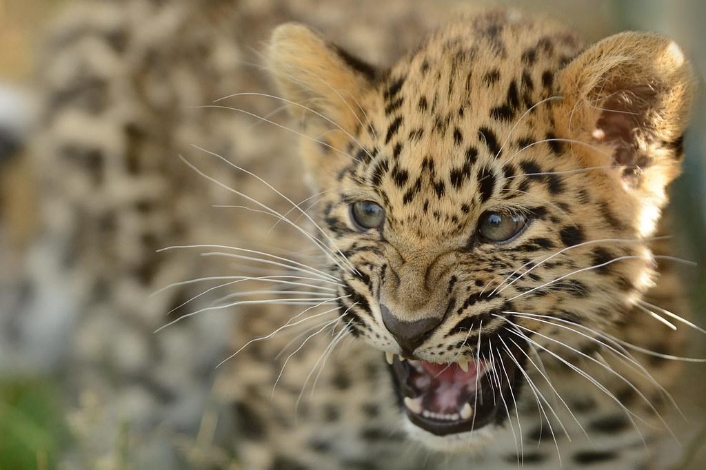 Amur Leopard Cub | Amur leopard cub practicing his roar ...