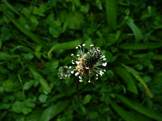 Ribwort Plantain | by mandwolfe