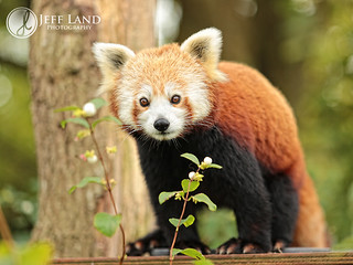 Day 264-366 Red Panda | by Jeff Land