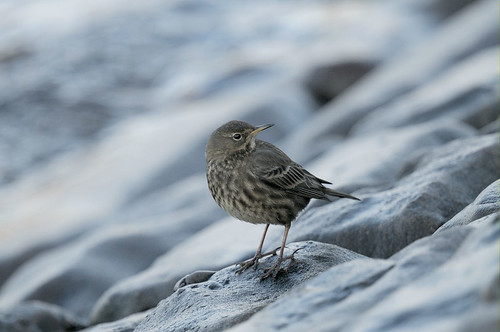 D121426 Meadow Pipit | by Nick Sidle