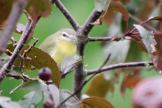 Philadelphia Vireo #2 | by Jim McCree